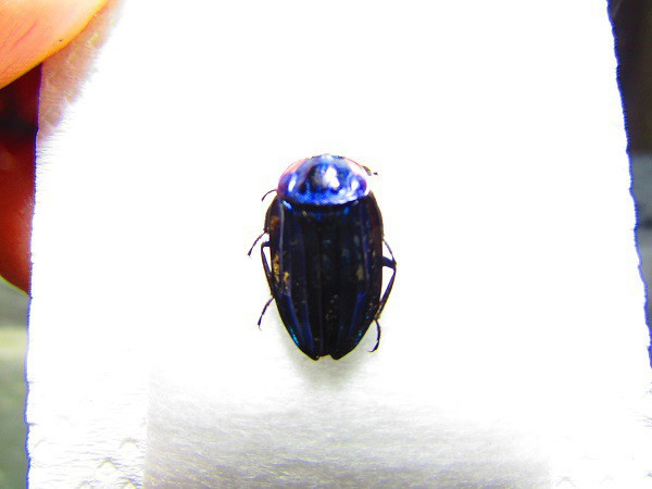 10130-Mt. Kalaw-  Silphidae  A15mm