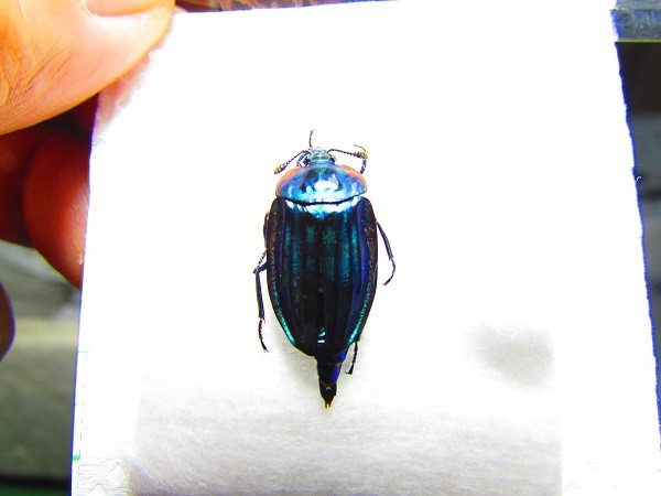10135-Mt. Kalaw-  Silphidae  A18mm