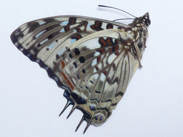 Charaxes etesipe♂(no.4390)