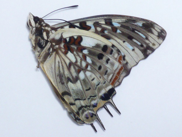 Charaxes etesipe♂(no.4390)_画像2